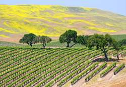 Santa Barbara vineyard with oak Canstock sm
